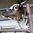 Koza holandská zakrslá