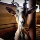 Kříženec kozy holandské zakrslé a kameruňské