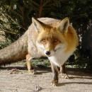 Liška obecná (Bzuk)