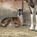 Mládě muflona