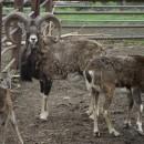 Muflonní rodinka